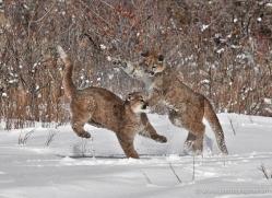 mountain-lion-puma-3540-montana-copyright-photographers-on-safari-com