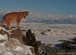 mountain-lion-puma-3542-montana-copyright-photographers-on-safari-com