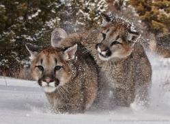 mountain-lion-puma-3544-montana-copyright-photographers-on-safari-com