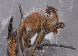 mountain-lion-puma-3548-montana-copyright-photographers-on-safari-com