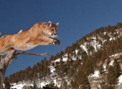 mountain-lion-puma-3549-montana-copyright-photographers-on-safari-com