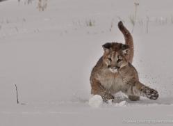 mountain-lion-puma-3551-montana-copyright-photographers-on-safari-com