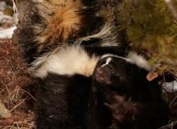 skunk-3663-montana-copyright-photographers-on-safari-com