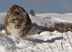 snow-leopard-3469-montana-copyright-photographers-on-safari-com