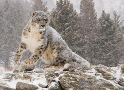 snow-leopard-3472-montana-copyright-photographers-on-safari-com