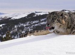 snow-leopard-3473-montana-copyright-photographers-on-safari-com