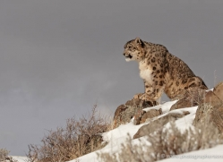 snow-leopard-3474-montana-copyright-photographers-on-safari-com