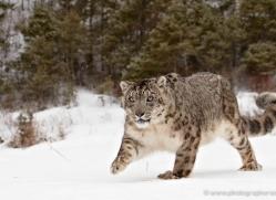 snow-leopard-3475-montana-copyright-photographers-on-safari-com