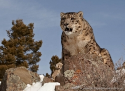 snow-leopard-3479-montana-copyright-photographers-on-safari-com