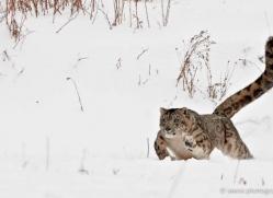snow-leopard-3480-montana-copyright-photographers-on-safari-com