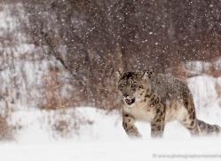 snow-leopard-3481-montana-copyright-photographers-on-safari-com