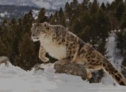 snow-leopard-3482-montana-copyright-photographers-on-safari-com