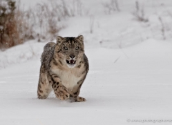 snow-leopard-3485-montana-copyright-photographers-on-safari-com