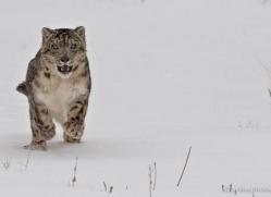 snow-leopard-3486-montana-copyright-photographers-on-safari-com