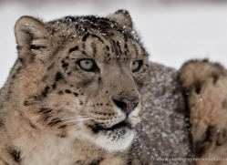 snow-leopard-3487-montana-copyright-photographers-on-safari-com