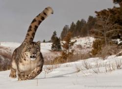 snow-leopard-3491-montana-copyright-photographers-on-safari-com