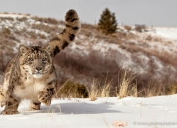 snow-leopard-3493-montana-copyright-photographers-on-safari-com