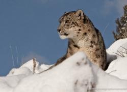 snow-leopard-3497-montana-copyright-photographers-on-safari-com