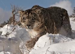 snow-leopard-3499-montana-copyright-photographers-on-safari-com