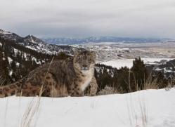 snow-leopard-3500-montana-copyright-photographers-on-safari-com