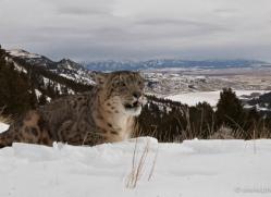 snow-leopard-3501-montana-copyright-photographers-on-safari-com