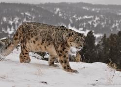 snow-leopard-3502-montana-copyright-photographers-on-safari-com