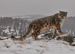 snow-leopard-3506-montana-copyright-photographers-on-safari-com