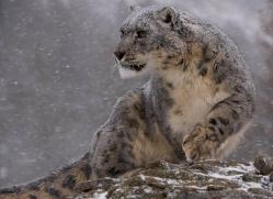 snow-leopard-3507-montana-copyright-photographers-on-safari-com