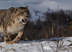 snow-leopard-3639-montana-copyright-photographers-on-safari-com