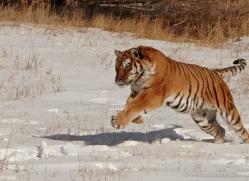 tiger-tiger-in-snow-3675-montana-copyright-photographers-on-safari-com