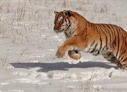 tiger-tiger-in-snow-3677-montana-copyright-photographers-on-safari-com