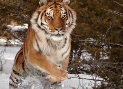 tiger-tiger-in-snow-3679-montana-copyright-photographers-on-safari-com