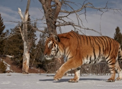 tiger-tiger-in-snow-3682-montana-copyright-photographers-on-safari-com