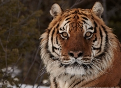tiger-tiger-in-snow-3683-montana-copyright-photographers-on-safari-com