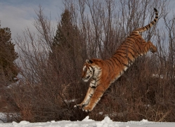 tiger-tiger-in-snow-3684-montana-copyright-photographers-on-safari-com