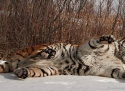 tiger-tiger-in-snow-3686-montana-copyright-photographers-on-safari-com