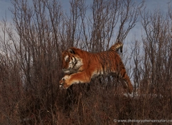 tiger-tiger-in-snow-3687-montana-copyright-photographers-on-safari-com