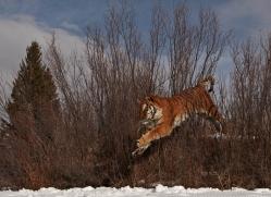 tiger-tiger-in-snow-3688-montana-copyright-photographers-on-safari-com