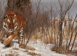 tiger-tiger-in-snow-3690-montana-copyright-photographers-on-safari-com
