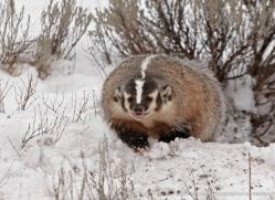 badger-3643-montana-copyright-photographers-on-safari-com