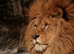 barbary-lion-3656-montana-copyright-photographers-on-safari-com