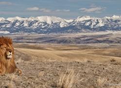 barbary-lion-3659-montana-copyright-photographers-on-safari-com