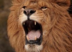 barbary-lion-3660-montana-copyright-photographers-on-safari-com