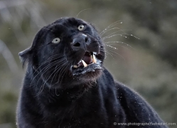 black-leopard-3649-montana-copyright-photographers-on-safari-com