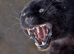 black-leopard-3652-montana-copyright-photographers-on-safari-com