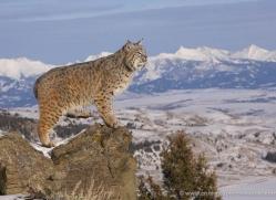 bobcat-3612-montana-copyright-photographers-on-safari-com