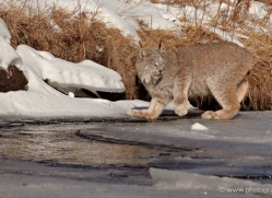 bobcat-3614-montana-copyright-photographers-on-safari-com