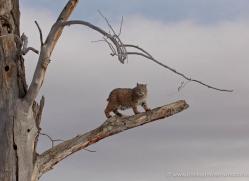 bobcat-3615-montana-copyright-photographers-on-safari-com