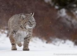 bobcat-3616-montana-copyright-photographers-on-safari-com