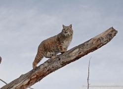 bobcat-3617-montana-copyright-photographers-on-safari-com